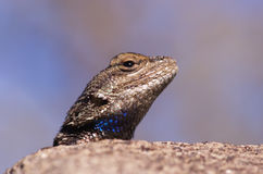 Fence Lizard Head Stock Photos