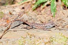 Fence Lizard Illinois Wildlife Stock Images