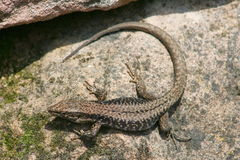 Fence lizard (Lacerta agilis) Stock Photo