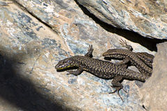 Fence lizard (Lacerta agilis) Royalty Free Stock Photo