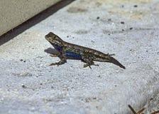 Male Eastern Fence Lizard Stock Photos
