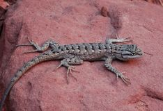 Fence lizard on a reddish rock viewed from the side Royalty Free Stock Image