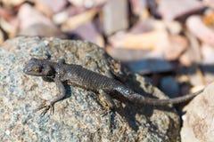 Fence Lizard on Rock Stock Image