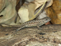 Fence Lizard (Sceloporus undulatus) Stock Photography