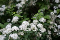 Spiraea × cinerea `Grefsheim` is very beautiful barrier in yard. stock photo