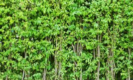 Fence made from trees. The fence is made of small, green trees that are longitudinal stock photo