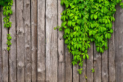 A fence made of wood with wild grapes curly ivy Stock Photos