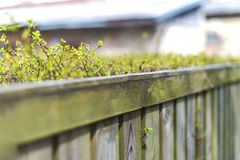 Fence made of wooden boards for which ratet neatly trimmed Bush. A fence of wooden black boards for which rate neatly shorn cost. Young spring shoots royalty free stock image