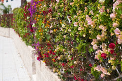 Fence of multicolored flowers bougainvillea Stock Image
