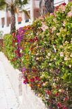 Fence of multicolored flowers bougainvillea Stock Photography