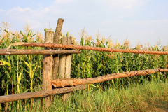 Fence near corn field Royalty Free Stock Photo