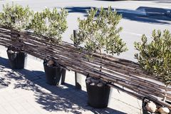 A fence of olive trees in vases and reed branches on the streets of a European city. Street decor stock photography