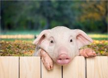 Cute piglet animal hanging on a fence. Fence pig piglet baby animal young animal smile face cute animal Royalty Free Stock Photography