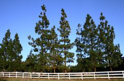 Fence and Pines. Pine trees behind a white picket fence, Santa Monica Mountains, CA Stock Image