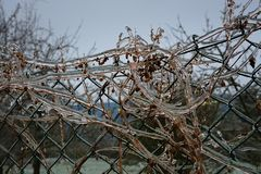 Fence, plants and ice. Climing plants on the fence, covered with ice Stock Photo