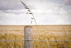 Fence post. In front of a barley field Stock Photography