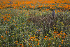 Fence Post and California Poppies Royalty Free Stock Photos