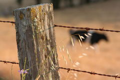 Fence post closeup and blurred cow. Closeup of a textured fence post with barbed wire and a intentionally blurred cow in the background Stock Photo