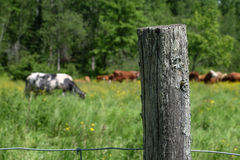 Fence post with cows in field in Quebec Stock Image