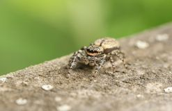 A cute Fence-Post Jumping Spider Marpissa muscosa on a wooden fence hunting for insects. A Fence-Post Jumping Spider Marpissa muscosa on a wooden fence hunting stock photo