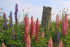 Fence Post & Lupins. Weathered farm fence post surrounded by lupins Stock Image