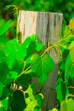 Fence post overgrown with ivy. Fence post overgrown with green ivy Stock Photography