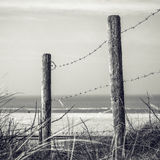 Fence protecting the Dutch dunes covered which beach grass (or marram grass) Stock Image
