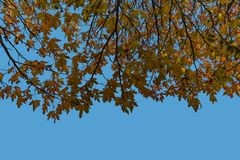 Maple tree leafs against a blue sky stock images