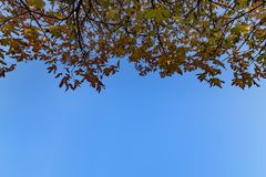 Autumn maple tree leafs on blue sky royalty free stock photos