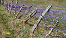 Fence and saffrons Royalty Free Stock Image