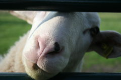 Fence Sheep Royalty Free Stock Photos