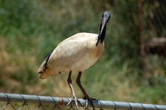 Fence Sitter. A White Ibis sitting on a fence royalty free stock photo