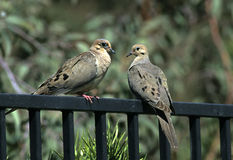 Fence Sitters. Male and female mourning dove sitting on backyard fence Visible film grain Stock Image