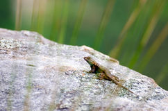 Fence Swift Lizard on a Rock. In Cloudland Canyon State Park Georgia Stock Photos