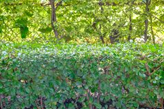 Fence that use trees planted firmly and make it into two levels. The fence that use trees planted firmly and make it into two levels Royalty Free Stock Photo