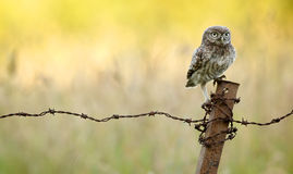 On the fence. A wild little owl sitting on a rusty old barbed wire fence Stock Photography
