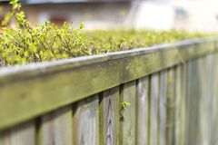 Fence made of wooden boards for which ratet neatly trimmed Bush. A fence of wooden black boards for which rate neatly shorn cost. Young spring shoots stock images
