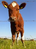 Fenced. Low angle close-up of dairy cow behind fence Royalty Free Stock Photos