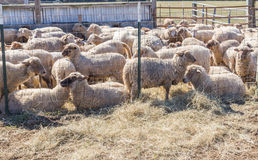Fenced Flock of Sheep. Stock Image