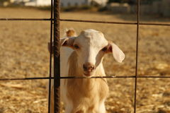 Fenced goat. Outdoor portrait of a curious looking goat staring behind a rusty metal fence Royalty Free Stock Photography