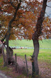 Fenced pastures and oak trees. Rural landscape Royalty Free Stock Images