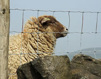 Fenced in Sheep-3. Solitary Sheep behind wire fence in Yorkshire UK Royalty Free Stock Photos