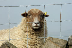 Fenced in Sheep-1. Solitary Sheep behind wire fence in Yorkshire UK Royalty Free Stock Image