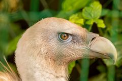 A fenced vulture Gyps fulvus stock photography