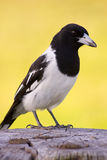 Fencepost Magpie Royalty Free Stock Photos