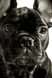 Fench bulldog Stock Photography