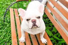 Fench bulldog. On the bench Royalty Free Stock Images