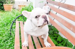 Fench bulldog. On the bench Stock Image
