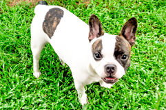 Fench bulldog. In the yard Royalty Free Stock Photo