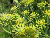 Fenchel-Blumen-Abschluss herauf Starburst Stockfotos